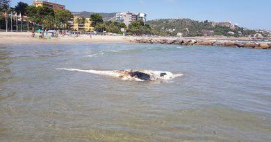Retiran un cetáceo de grandes dimensiones de la playa l'Almadrava de Benicàssim