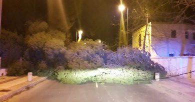 La caída de un pino por el viento corta la avenida Barcelona de Benicàssim